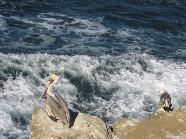 A pelican and gull share a cliff above the turbulent, foaming Pacific Ocean.