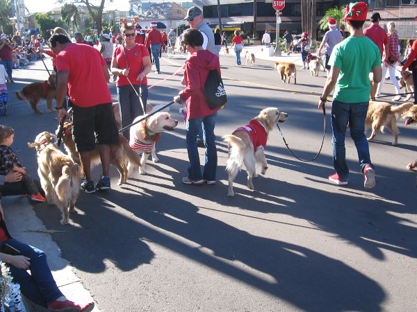 There goes The San Diego Golden Retriever Meetup Group with lots of canine pals!