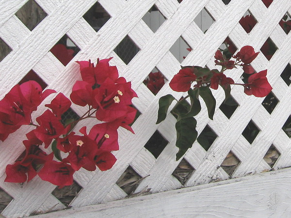 Red bougainvillea poke through a white lath fence in North Park.