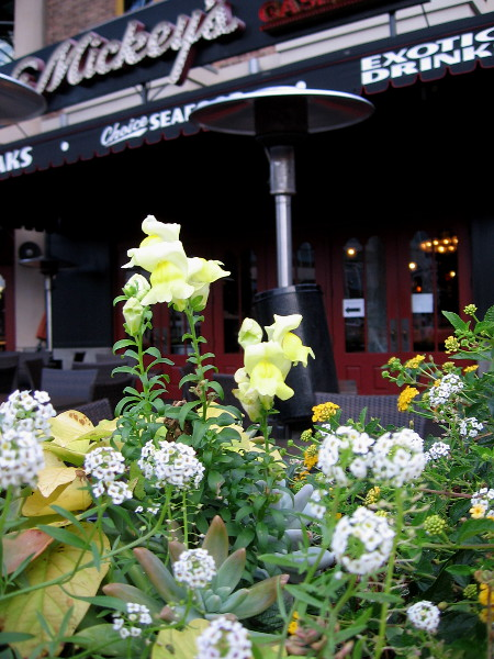Beautiful flowers in planters at Lou and Mickey's in the Gaslamp Quarter.