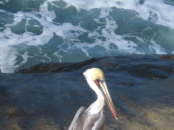 Photo of pelican standing on a dark rock provides interesting contrast.