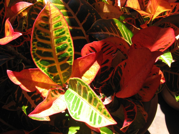 Colorful leaves inside Balboa Park's Botanical Building.
