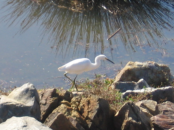 My camera isn't quite so fancy, but I did get an okay photo of this snowy egret!