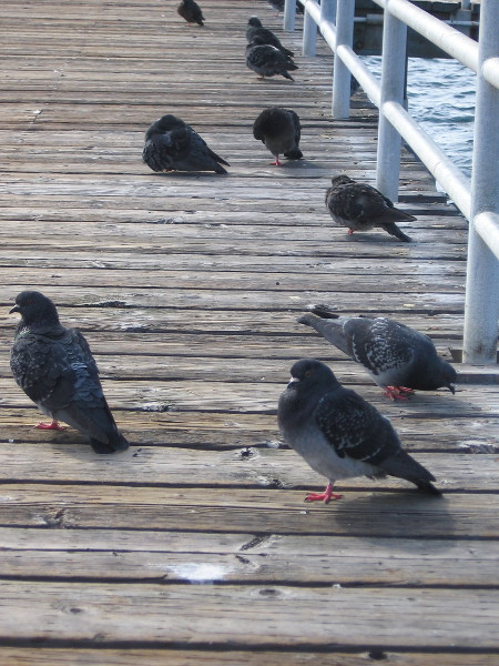 Pigeons on the pier are taking it easy.