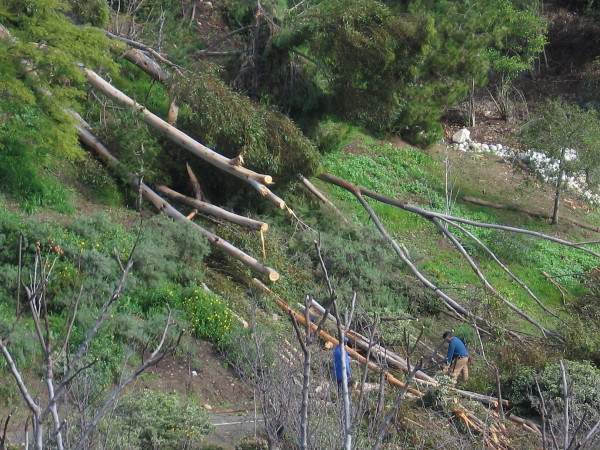 The strong storm yesterday knocked over a towering eucalyptus tree at the Japanese Friendship Garden canyon's edge. Guys with chainsaws cut it up.
