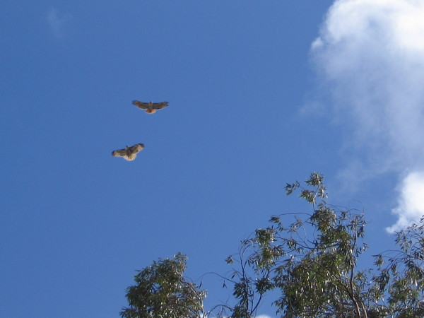 The clouds are clearing. I hear a cry above. Paired Red-tailed Hawks whirl and dance in the sky together above Balboa Park.