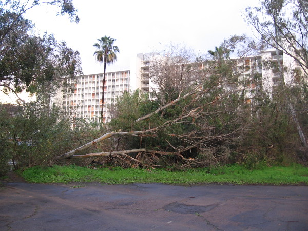 A tall eucalyptus tree knocked over by the gusty winter storms. A common sight around San Diego.