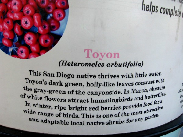 Toyon (Heteromeles arbutifolia) is a San Diego native. White flowers in March attract hummingbirds and butterflies. In winter, red berries are food for many different birds.