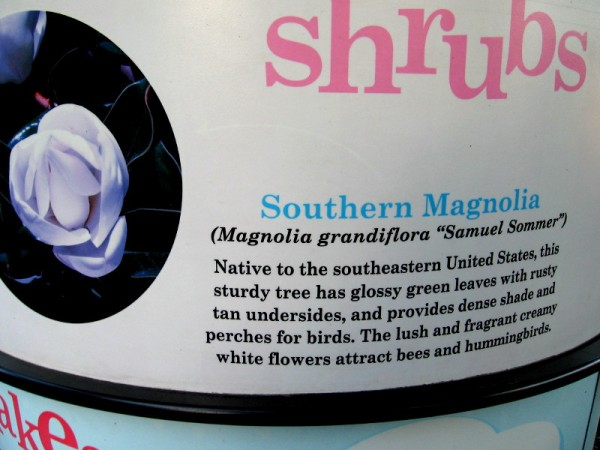 """Southern Magnolia (Magnolia grandiflora """"Samuel Sommer"""") provides shade and perches for birds. The fragrant white flowers attract bees and hummingbirds."""