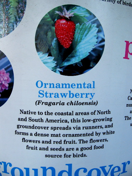 Ornamental Strawberry (Fragaria chiloensis) has flowers, fruit and seeds that make a good food source for many birds.