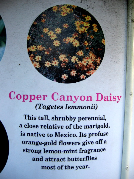 Copper Canyon Daisy (Tagetes lemmonii) is native to Mexico and attracts butterflies with its strong lemon-mint fragrance.
