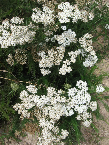 Yarrow was used by the Kumeyaay as a treatment for various medical conditions, including burns, inflammation, and pain from toothache, headache and arthritis.