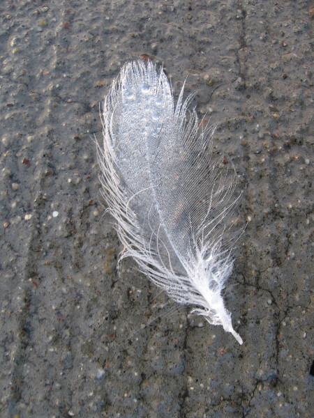 An exquisitely beautiful seagull feather on the wet concrete at my feet.