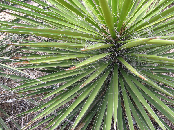 Fibers from the yucca were used by the Kumeyaay to produce cords, nets, shoes and other useful items.