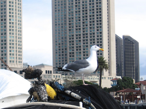 A seagull stands atop a pile of nets and floats on San Diego's picturesque G Street Pier.