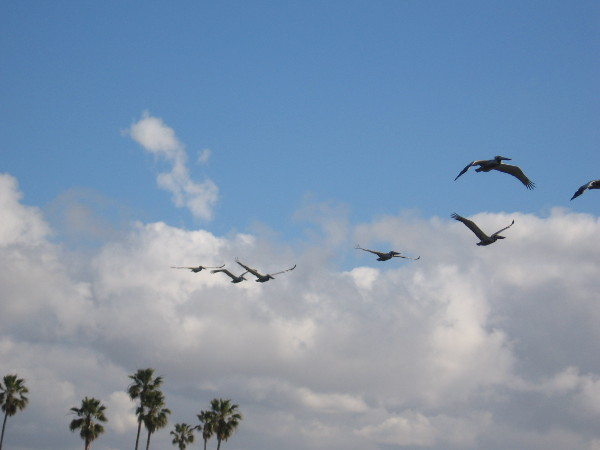 A line of pelicans flies overhead.