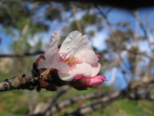 A cherry blossom has opened in mid-February at Balboa Park's beautiful Japanese Friendship Garden!