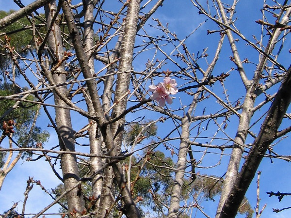 A solitary burst of pink on a mostly bare cherry tree. A wet winter might produce a an amazing show of spring blossoms.