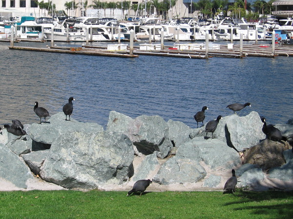 American coots (also called mud hens) on rocks near the Marriott Marina.