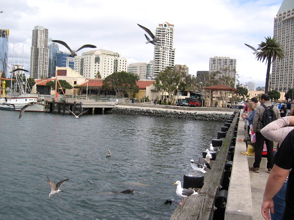 Birds and sea lions await handouts of leftover fish parts. Early Saturday afternoon, and the Tuna Harbor Dockside Market is wrapping up.