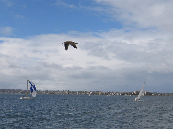 A bird in the sky above broad-winged sailboats flying across San Diego Bay.