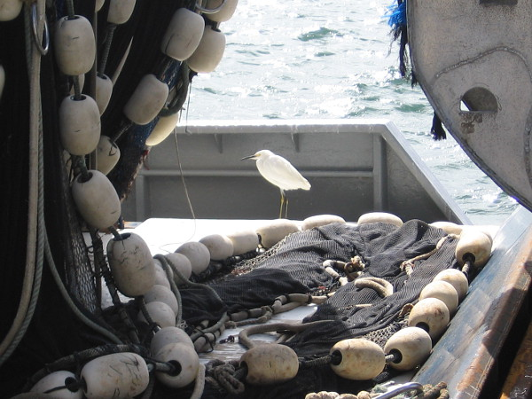 A snowy egret near the net of a live bait catching purse seiner.