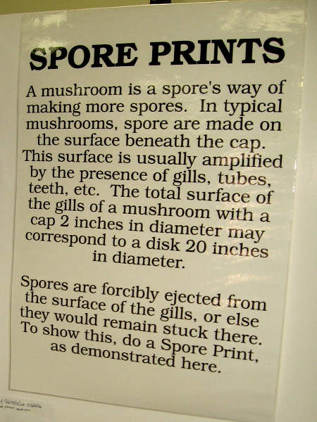 Check out this fascinating poster and the following photo. Spore prints show how spores are ejected from the mushroom gills.