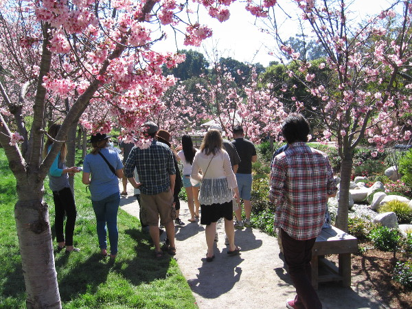 Walking through a profusion of pink flowers at the Japanese Friendship Garden during the 2017 Cherry Blossom Festival in Balboa Park.