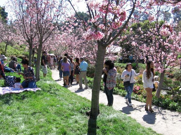 But, of course, the Japanese cherry trees are the star of the show. Crowds walk through bursts of pink flowers and enjoy the green grass.