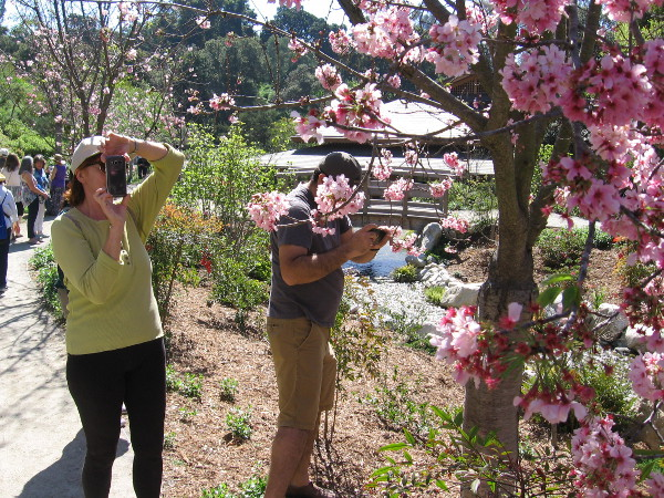 Visitors to the Japanese Friendship Garden in Balboa Park enjoy the annual Cherry Blossom Festival!