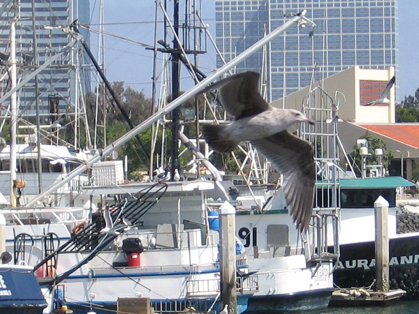 A gull swings on by to give me a look.