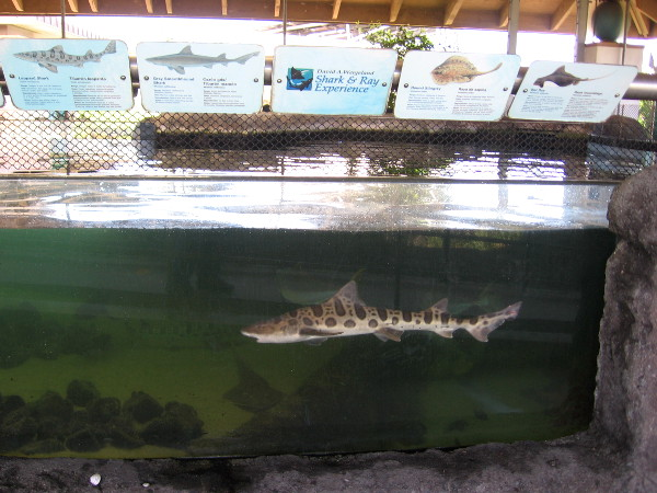 A leopard shark. They are plentiful in the waters off San Diego.