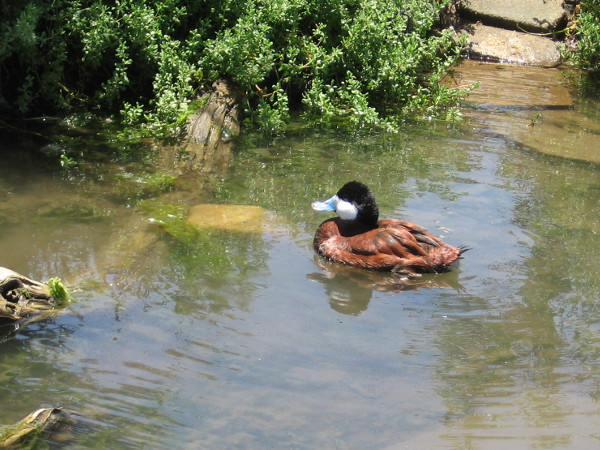 A blue-billed ruddy duck swims in a pool of water at the Living Coast Discovery Center.