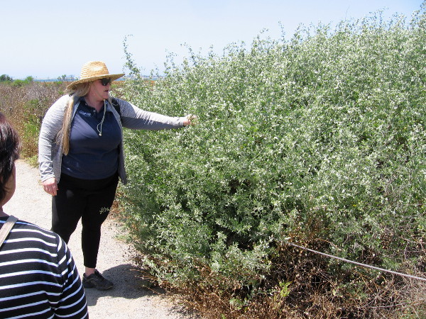 Our guide shows us saltbush. It is adapted to the type of salty soil in this marsh on San Diego Bay. Its leaves taste salty!