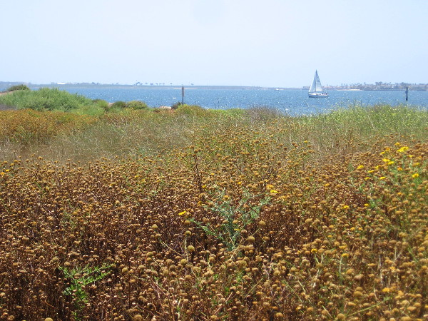 A sail on the bay beyond a drying field of San Diego Sunflowers.