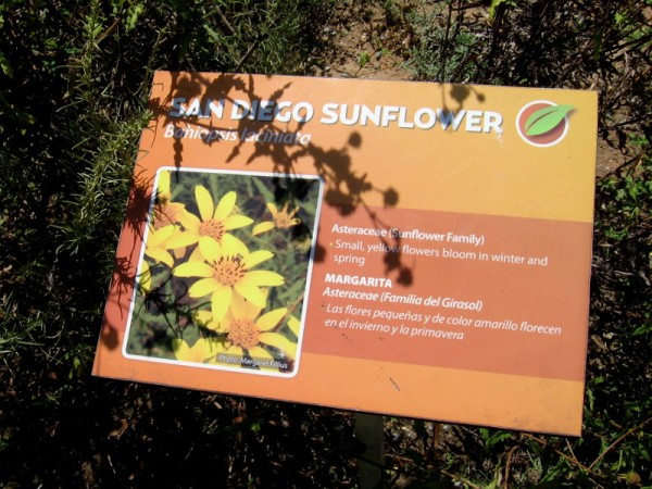 The San Diego Sunflower, or Bahiopsis laciniata, is often found in a coastal sage scrub environment.