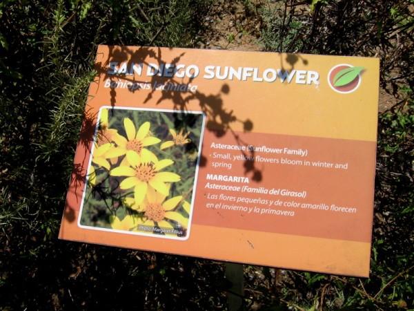 The San Diego Sunflower, or Bahiopsis laciniata, is often found in a coastal sage scrub environment.