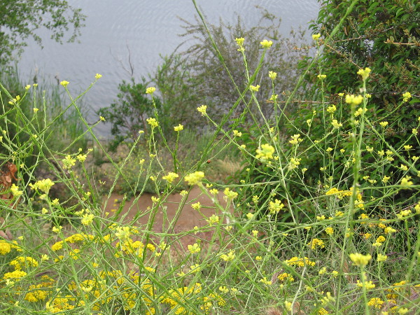 I believe this is wild mustard. Various flowers could be seen along the trail.