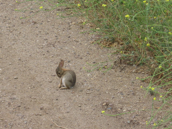 A small bunny is out on the trail.
