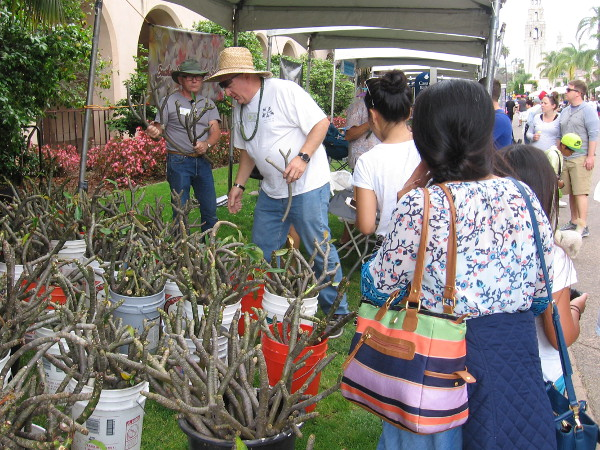 The Southern California Plumeria Society had a very active booth.
