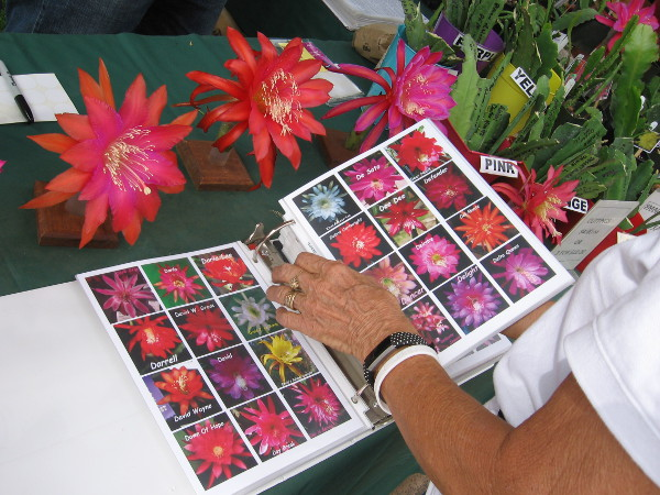 Gorgeous blooms were being shown by the San Diego Epiphyllum Society.