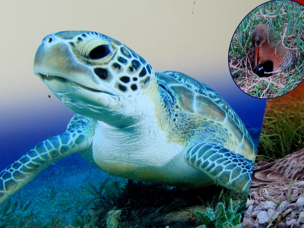 A green sea turtle, one of those residents of San Diego Bay!