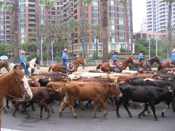 Cowboys on horseback drive cattle down Harbor Drive in downtown San Diego. They are promoting this year's San Diego County Fair.