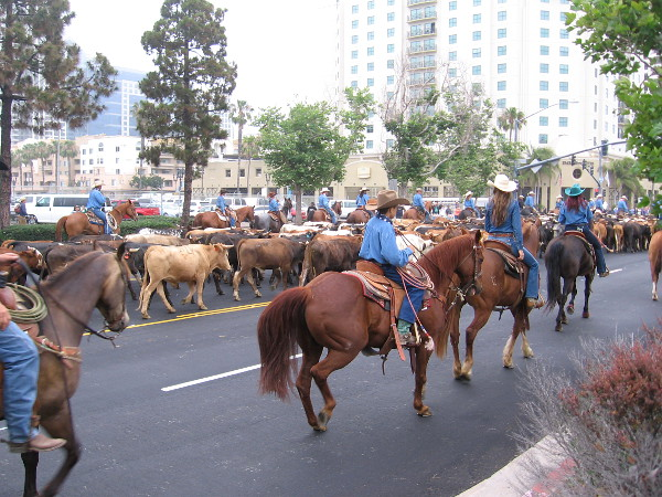 Lots of cowboys on horses and some excited herding dogs lead the cows along the downtown street.
