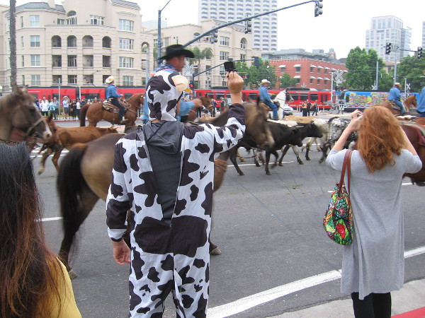 A guy in a crazy cow costume gets a photograph of the cattle drive.