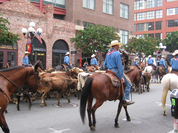 The cattle are driven up Fifth Avenue into the heart of San Diego.