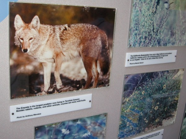 Many interpretive displays can be found in the Nature Center. The coyote is Tecolote Canyon's largest predator.