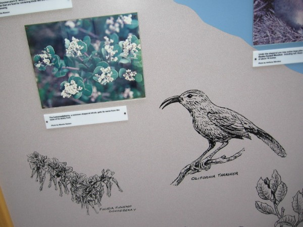 One of the displays shows Lemonadeberry (a common chaparral shrub in San Diego), Fuchsia Flowered Gooseberry, and a California Thrasher.