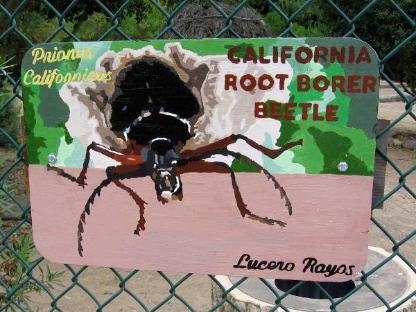 California Root Borer Beetle. Lucero Rayos.