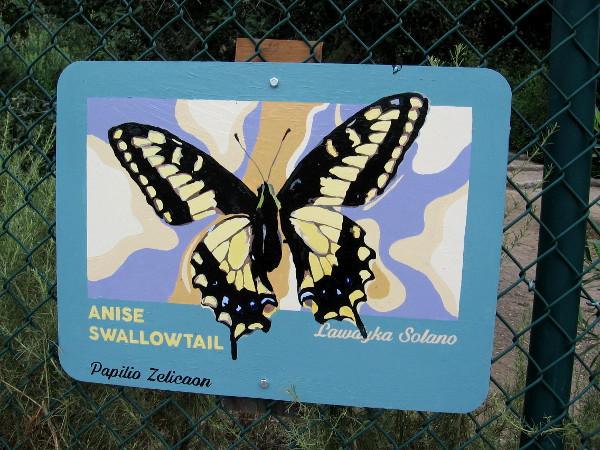Anise Swallowtail. Lawdyka Solano.